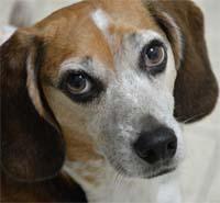 Собаки, ориентированные на общение счеловеком, имеют мутации впяти генах